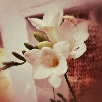 The first freesia is blooming in a warm spot by…