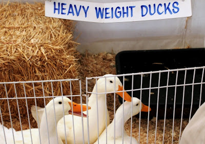 Heavy Weight Ducks