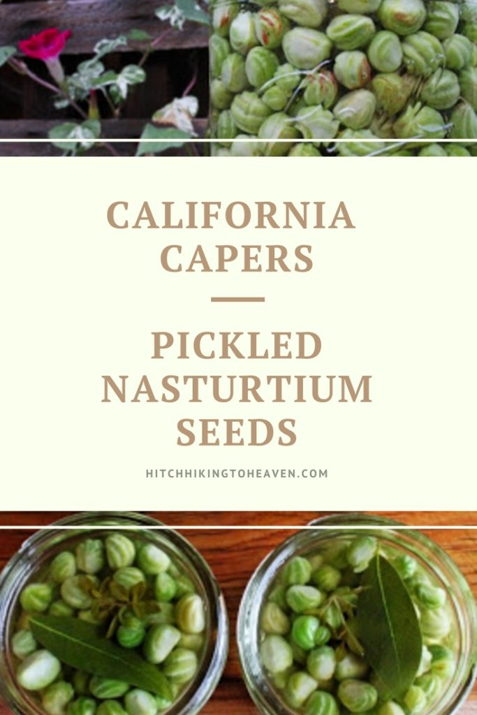 California Capers (Pickled Nasturtium Seeds) | Hitchhiking to Heaven