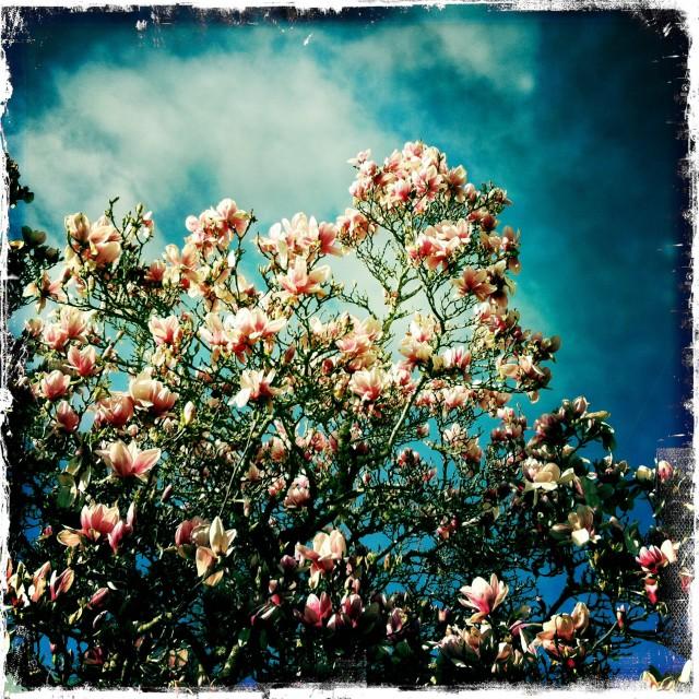 magnolia_afternoon