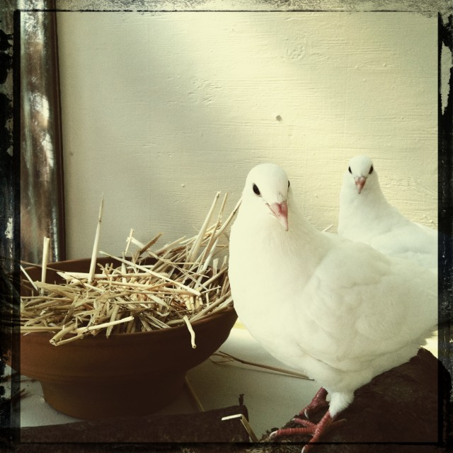 Pigeons and Nest Bowl