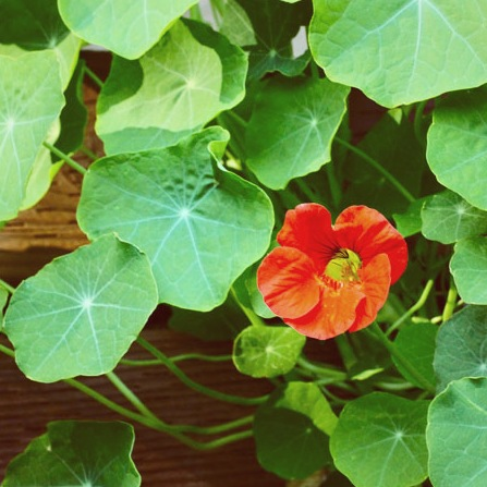 Nasturtium | Hitchhiking to Heaven