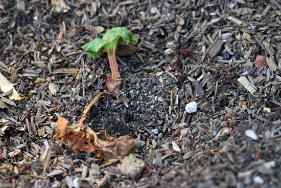 My Rhubarb Died