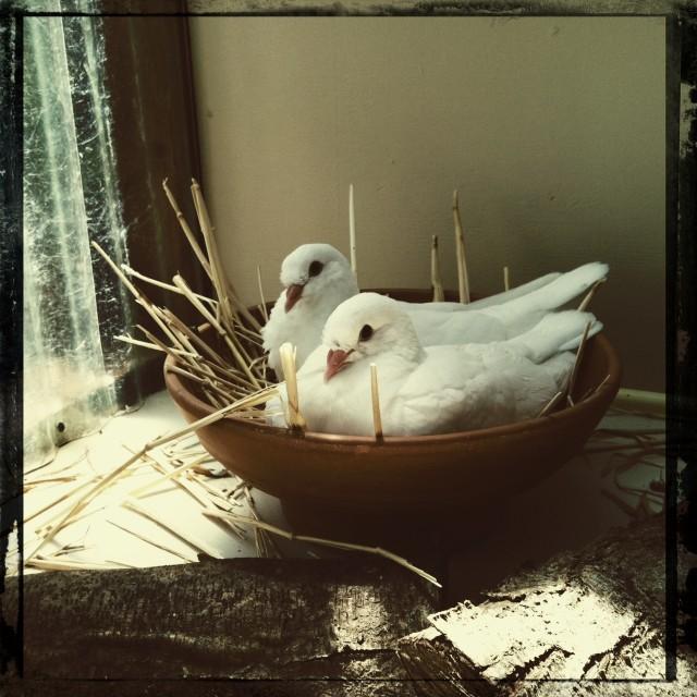 King Pigeons