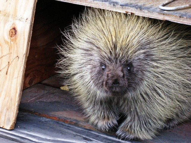 Spike the Porcupine || Hitchhiking to Heaven