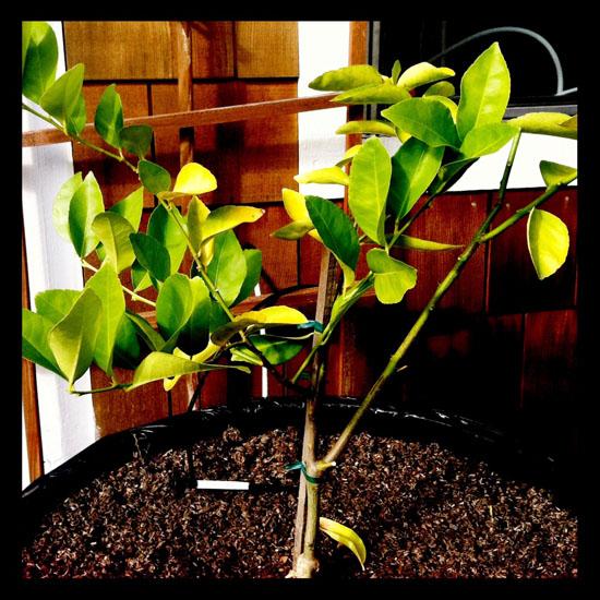 baby_bearss_lime_tree