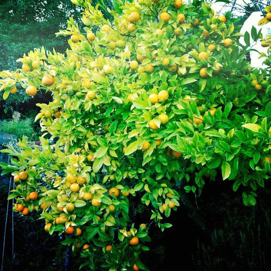 rangpur_tree