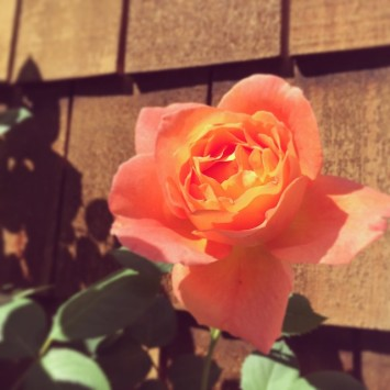 First rose of the year #gardenwatch