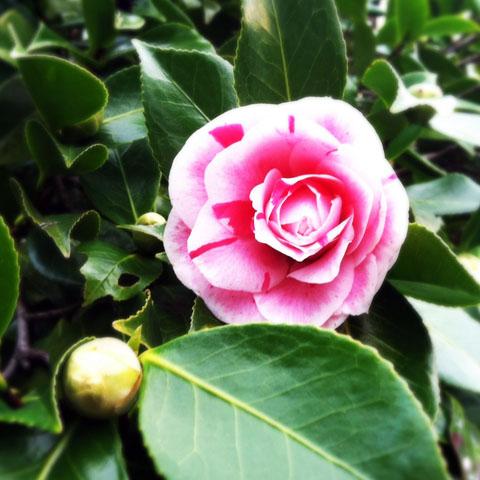 Photo of a camellia blossom