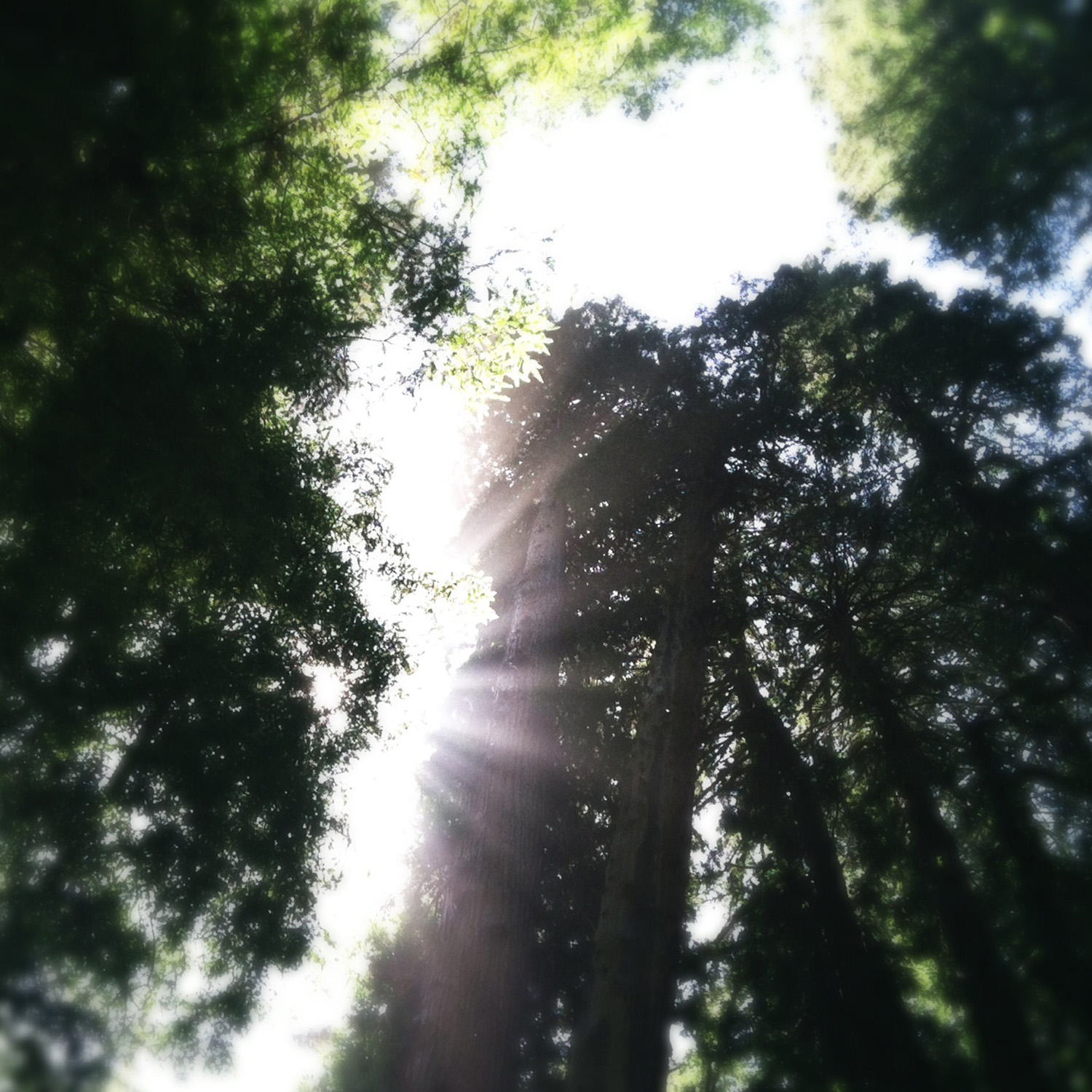 redwood_trees