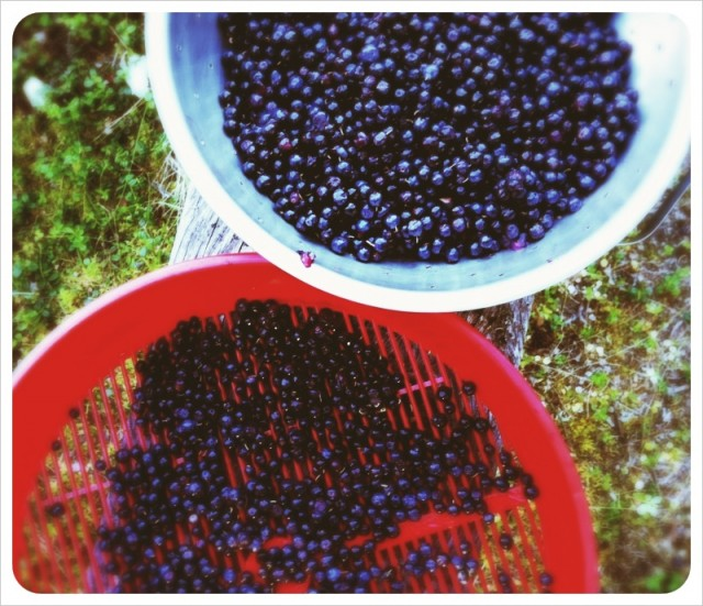 wild_alaskan_blueberries