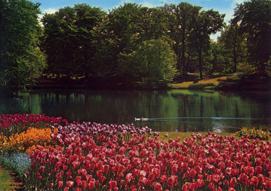 holland_tulips_postcard