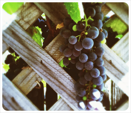 wine_grapes_bunch