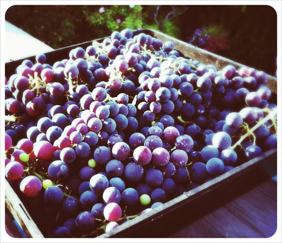 wine_grapes_tray