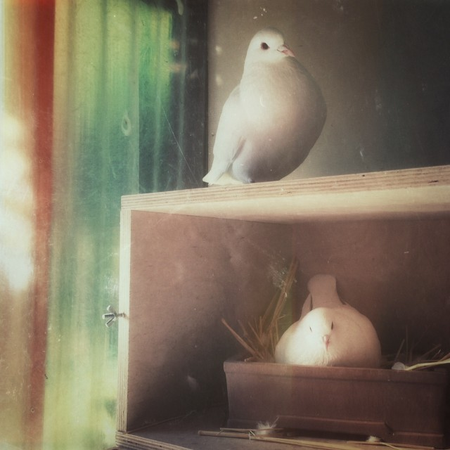 Rescued Domestic King Pigeons
