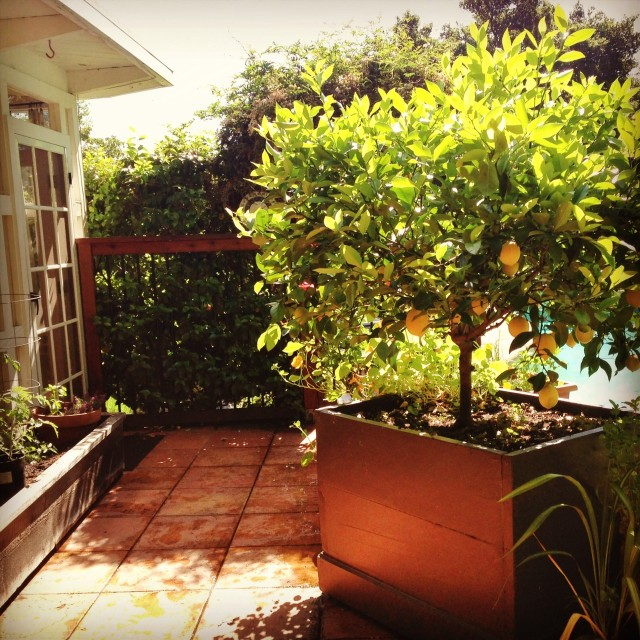 Eureka lemon tree in patio container