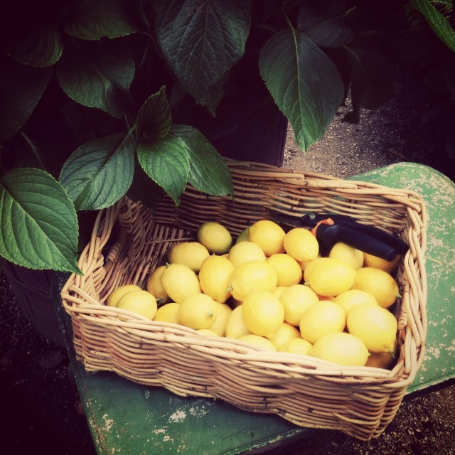 Meyer Lemons in June | Hitchhiking to Heaven