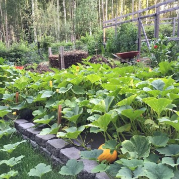 A sea of squash! fairbanks alaska garden fairfaxtofairbanks