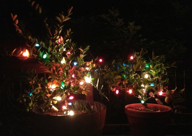 Using Christmas Tree Lights to Protect Citrus Trees from Frosts and Freezing