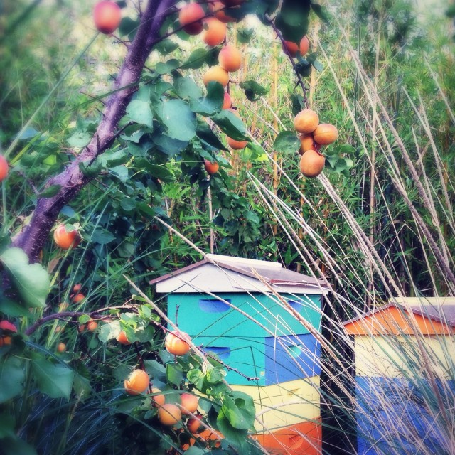 Apricots and Apiary | Hitchhiking to Heaven