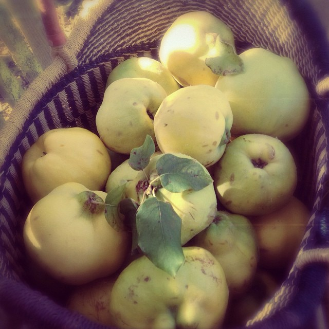 I was sitting on a public bench talking with a friend and this is what happened when I looked up. #forage #quince