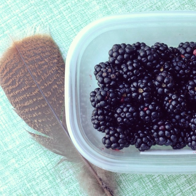 Not a good year for the wild blackberry harvest (such weird weather) -- hawk feather is consolation.