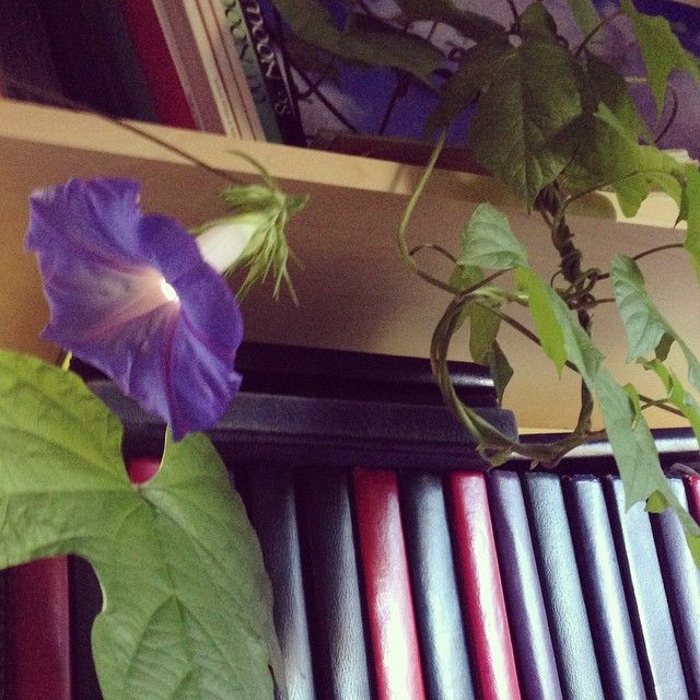 That morning glory tendril that snuck under the door is now blooming in the house.
