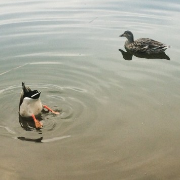 The funny things that ducks do