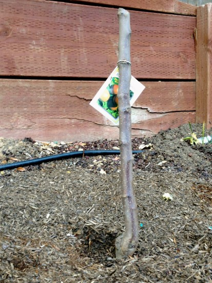 Keeping Fruit Trees Small