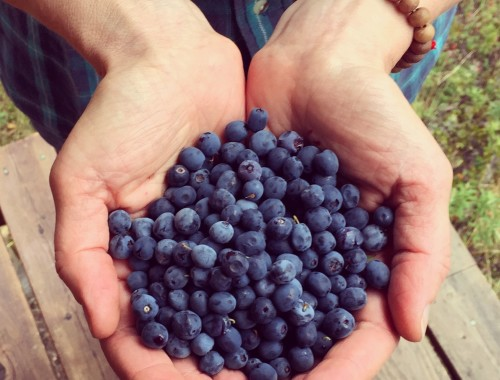 Wild Alaskan Blueberries for Blueberry Raspberry Jam With Pomona's Pectin