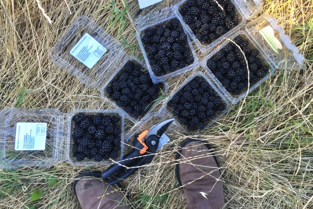 What to Do With Blackberries | Hitchhiking to Heaven