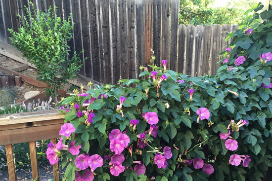 Morning glory on the fence with green gage plum tree
