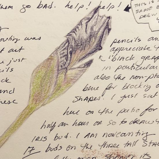 Iris Bud Sketch   Hitchhiking to Heaven